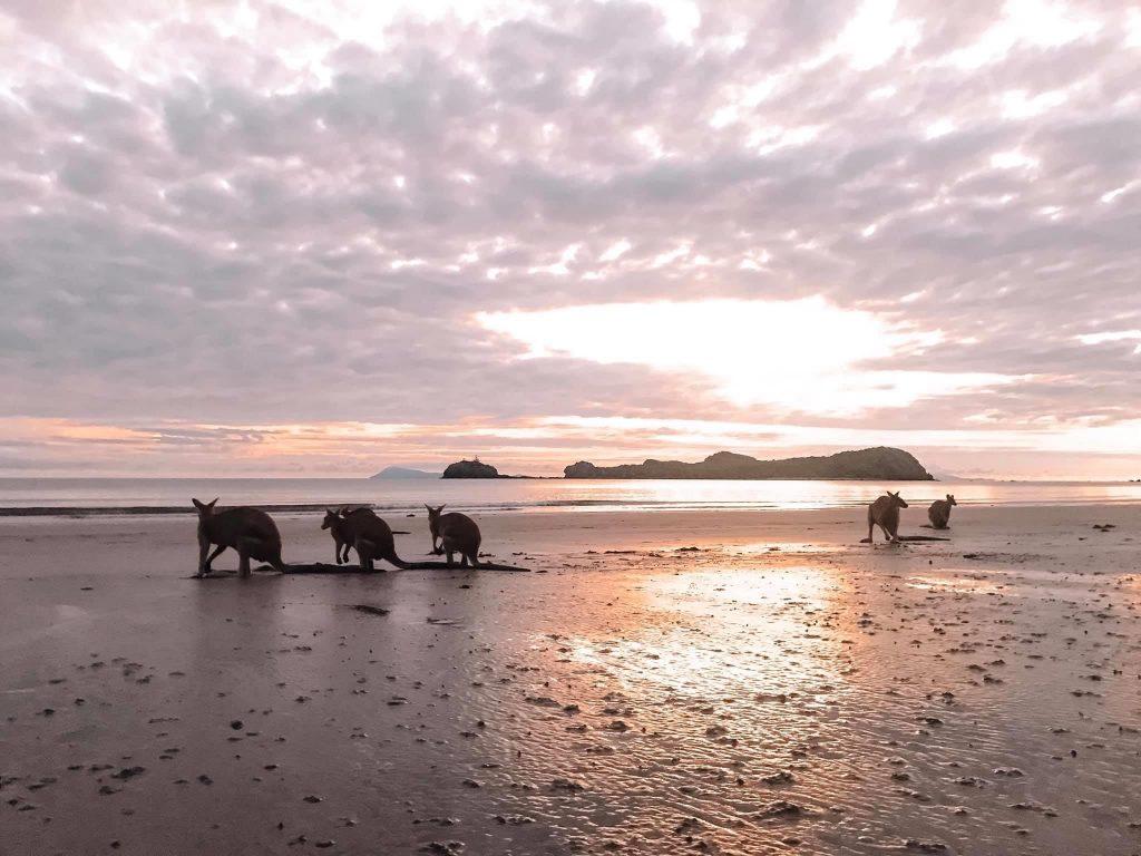 Become a travel nurse Cape Hillsborough kangaroos sunset