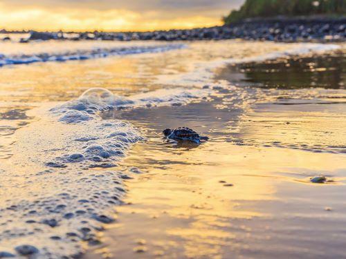 Turtle Mon Repos - Bundaberg Hot Spot QLD